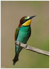 ---- Bienenfresser mal solo ---- ( Merops apiaster )