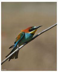 ---- Bienenfresser ---- ( Merops apiaster )