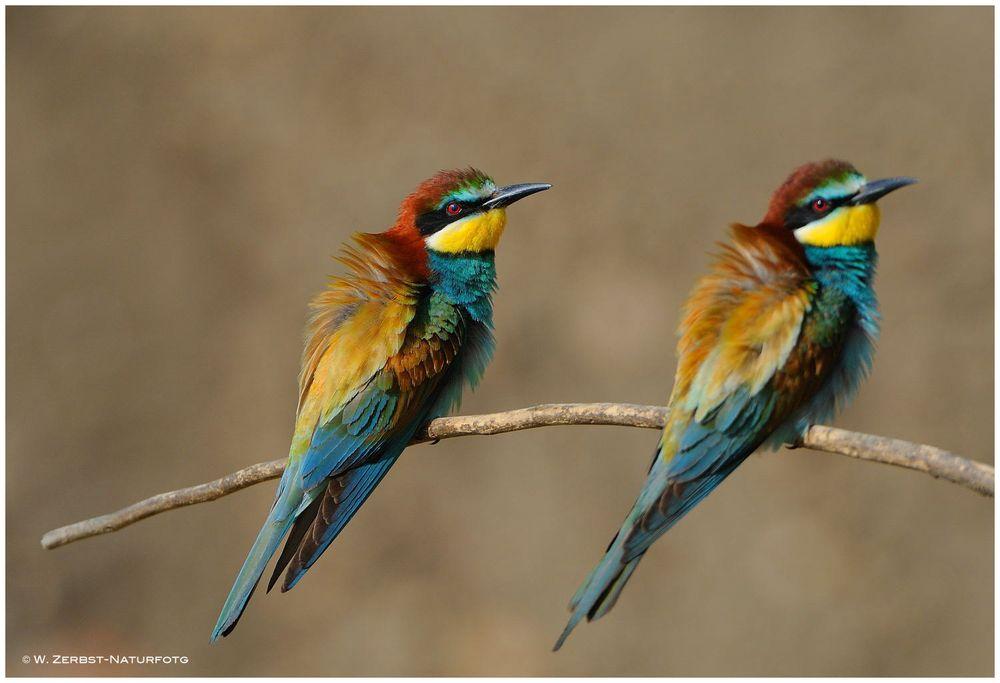 --- Bienenfresser ---Merops apiaster )