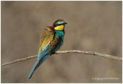 --- Bienenfresser ---- ( Merops apiaster )