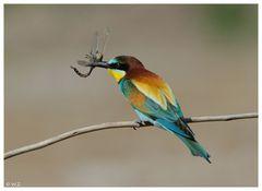 ----- Bienenfresser ----- ( Merops apiaster )
