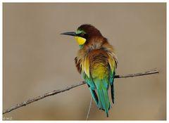 ---- Bienenfresser Nr. 7 ----- ( Merops apiaster )