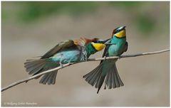 --- Bienenfresser-Paar, Liebe ist.............. (Merops apiaster )