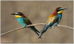 --- Bienenfresser - Paar ---- (Merops apiaster)