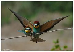 ---- Bienenfresser Paar ----- ( Merops apiaster )