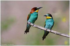 --- Bienenfresser-Paar --- ( Merops apiaster )
