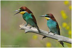 -- Bienenfresser - Paar --- ( Merops apiaster )