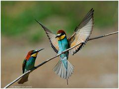 --- Bienenfresser - Paar --- ( Merops apiaster )