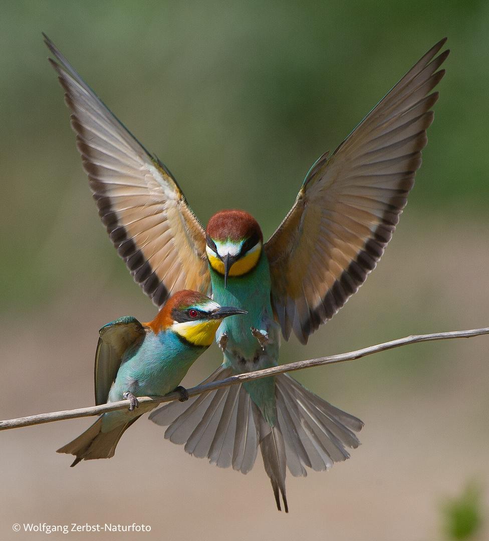 --- Bienenfresser Paar --- ( Merops apiaster )