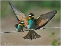 --- Bienenfresser-Paar mit kleinem Brautgeschenk---- (Merops apiaster )