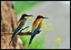 ---- Bienenfresser-Paar Nr. 12 ---- ( Merops apiaster )