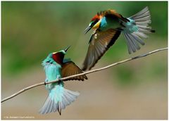 --- Bienenfresser - Paar Nr.2 --- ( Merops apiaster )