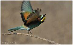 --- Bienenfresser und weg ---- ( Merops apiaster )