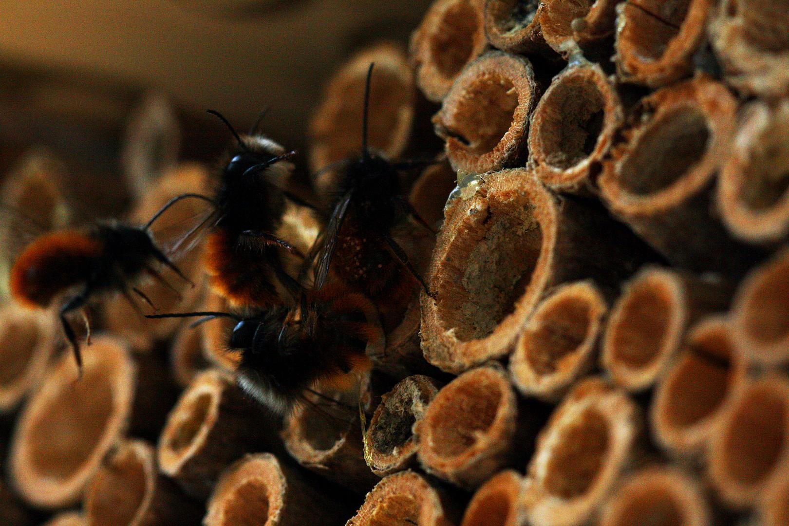 Bienenhotel wird gestürmt