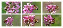 Bienenimpressionen an der Blüte