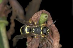 Bienenjagende Knotenwespe (Cerceris rybyensis)