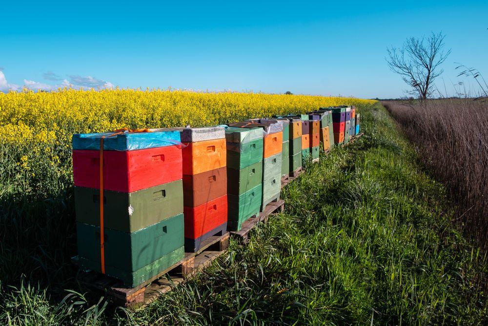 Bienenkästen am Rapsfeld