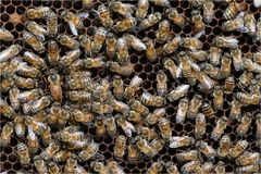 Bienenkönigin mit ihrem Hofstaat