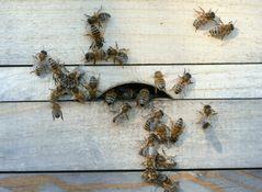 Bienenkommunikation 1