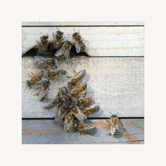 Bienenkommunikation 2
