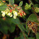 Bienenlandung... ich lande - weg da...