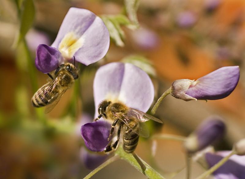 Bienenmahlzeit