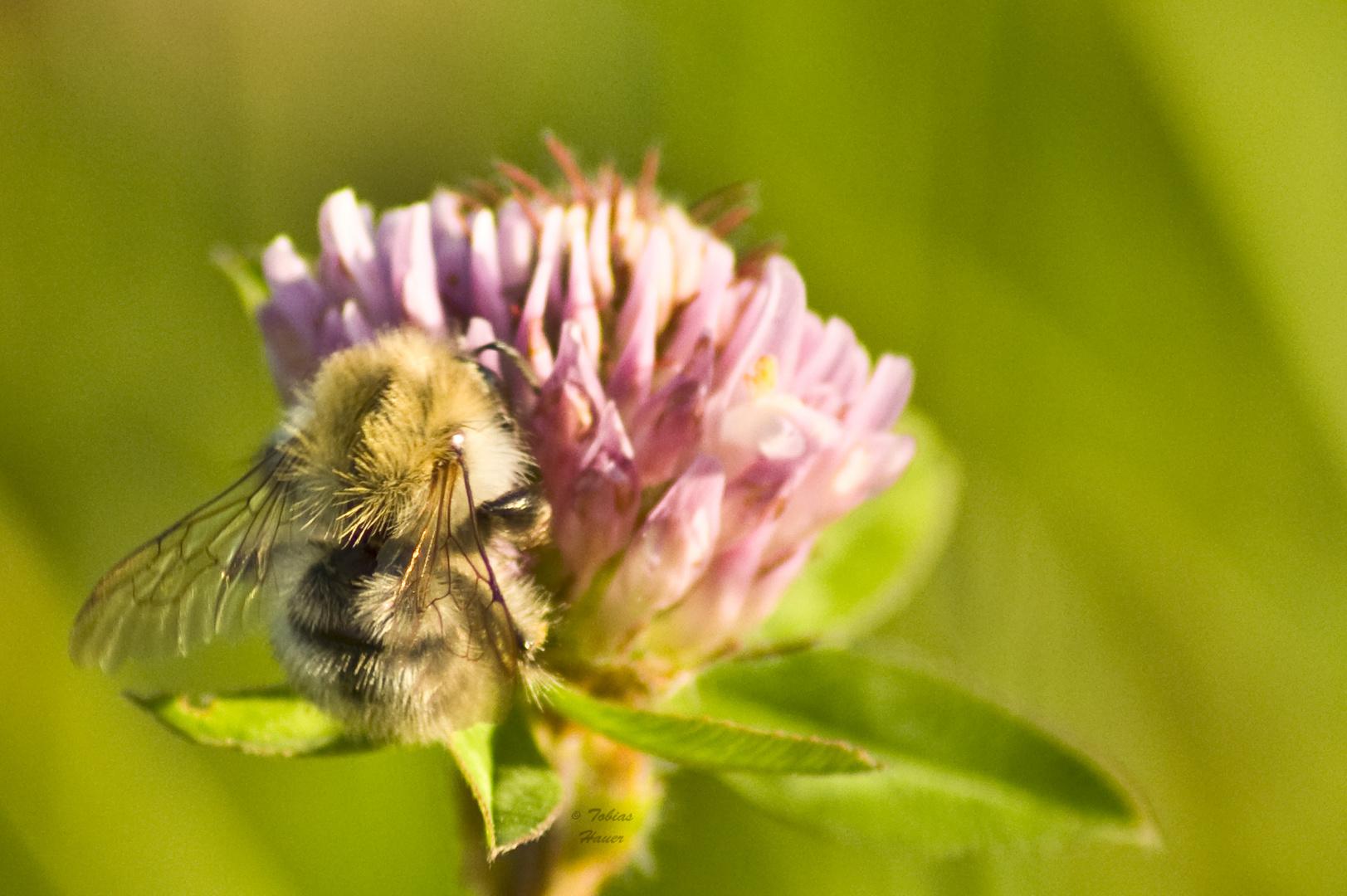 Bienenpelz