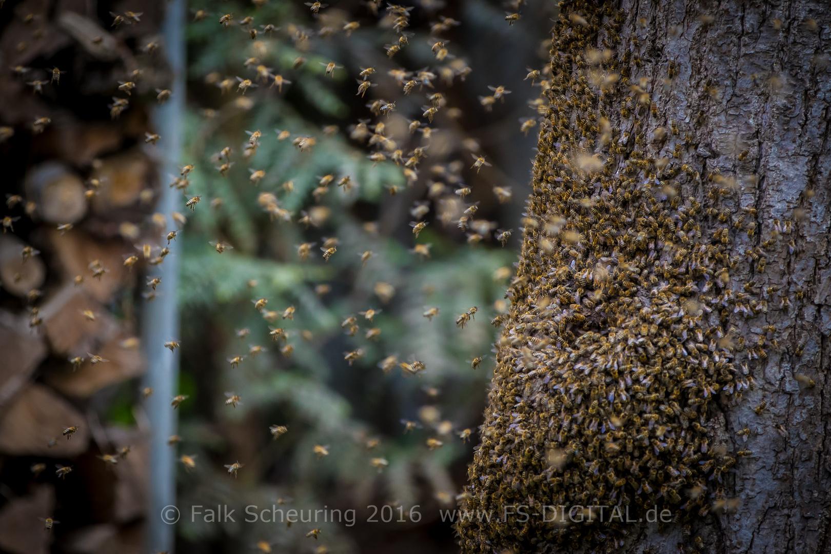 Bienenschwarm zieht in neues Zuhause