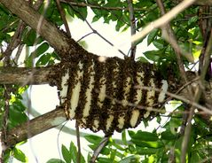 Bienenstock am Baum!