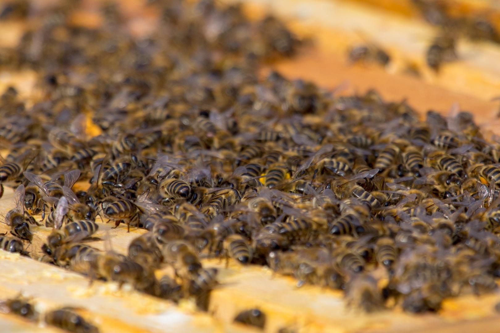 Bienenvolk (II)
