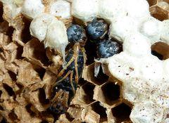 Bienenwaben