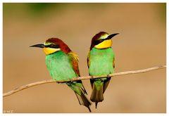 ---- Bienfresser - Paar ---- ( Merops apiaster )