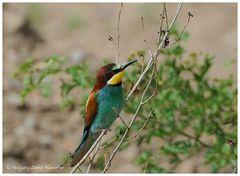 --- Biennfresser --- ( Merops apiaster)