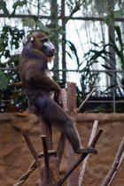 Big Boss - Der Chef der Affen