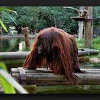 Big Ginger orangutan in Palmitos Park
