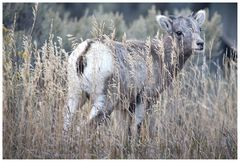 Big Horn Sheep - der junge Wilde