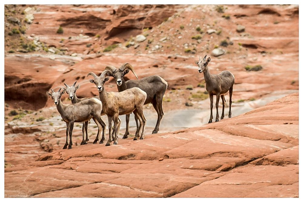 [big horn sheep I lake powell]