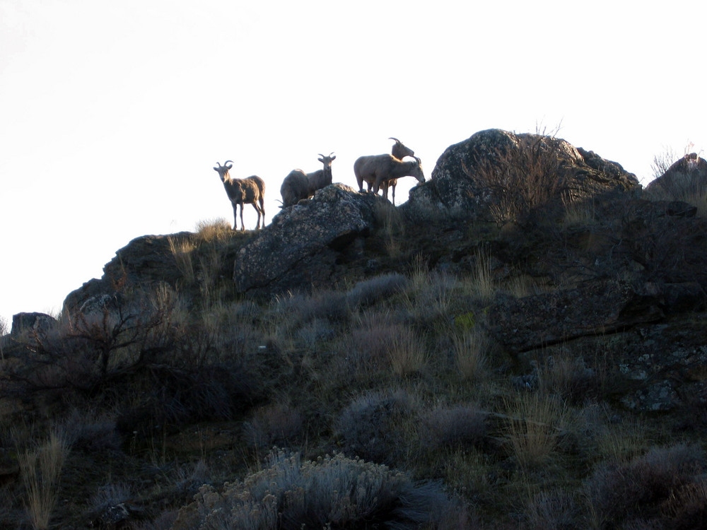 Big Horn Sheep on hill top