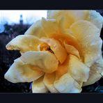 Big January Rose