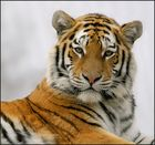 Big tiger is watching you.
