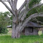 big tree with a hut