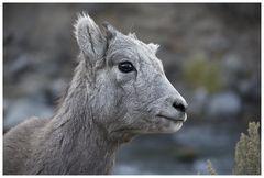 Bighorn Sheep Halbstarker, oder ....