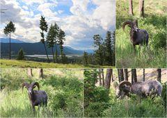 Bighorn-Sheeps...