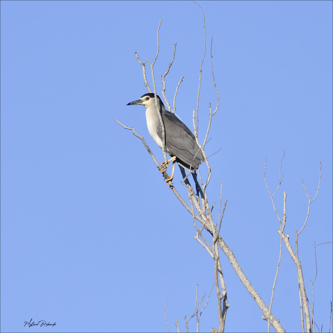 Bihoreau sur sa branche