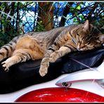 Biker-Katze ...