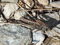 Bild 3 : Räuberische Sandwespe (Prionyx kirbii) *