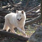 Bilderbuchwolf