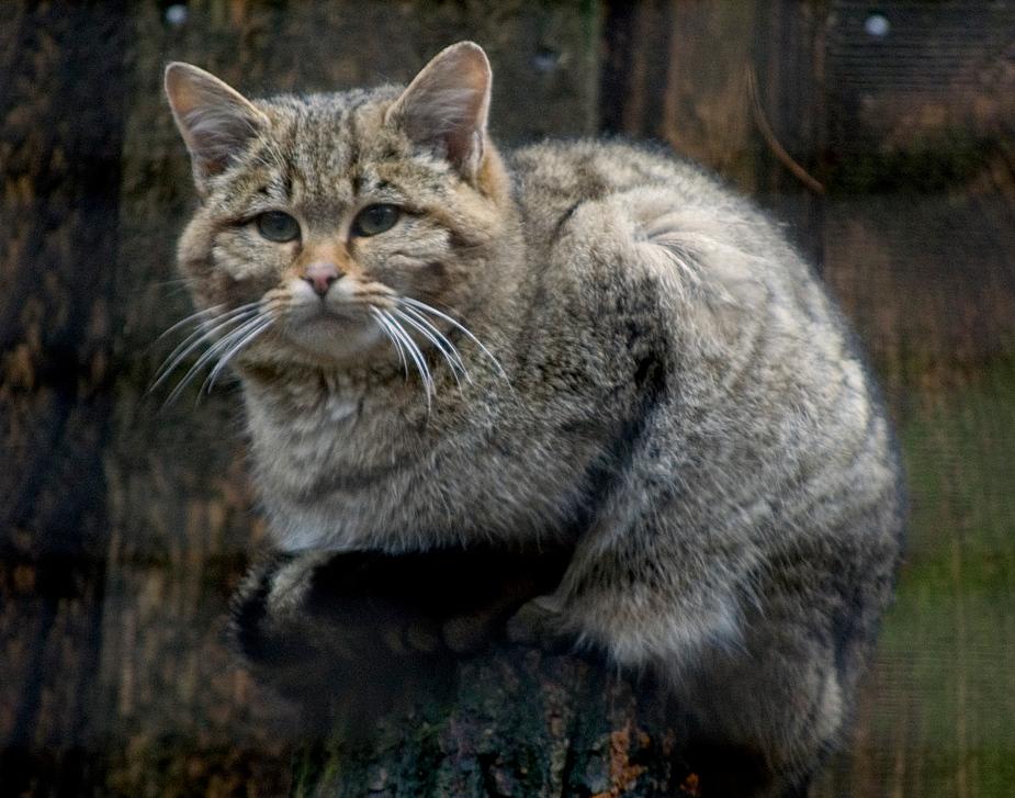 Bin eine Wildkatze, und du?