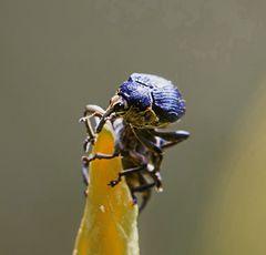 Bin ich ein Rüsselkäfer?