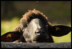 Bin ich Schaf oder was?